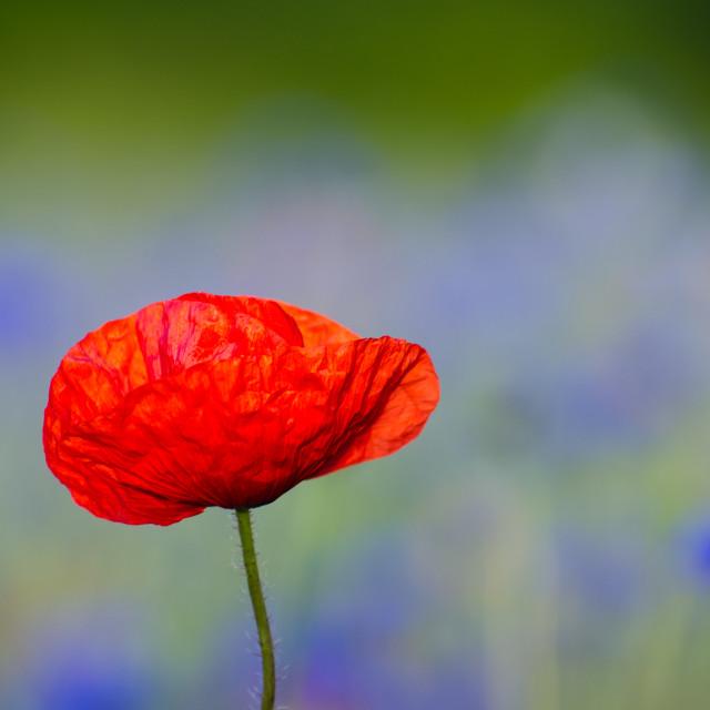 """Poppy flower closeup"" stock image"