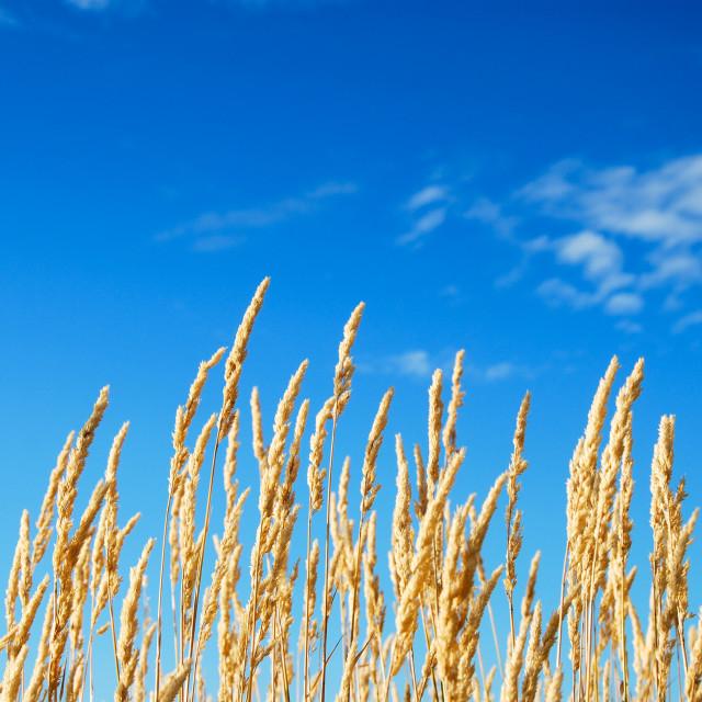 """Yellow grass straws b blue sky"" stock image"