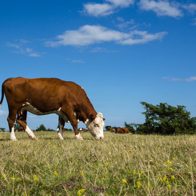 """""""Grazing cow in a great grassland"""" stock image"""