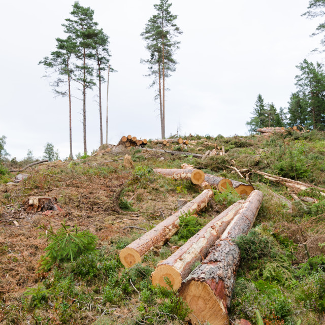 """""""Logs in a clear cut forest"""" stock image"""