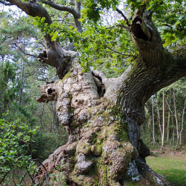 """""""Extremely old oak tree"""" stock image"""