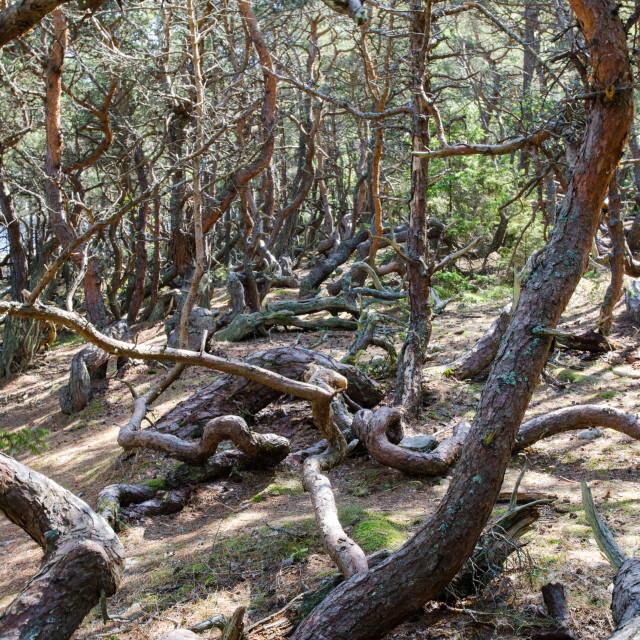 """Old windblown pine trees"" stock image"