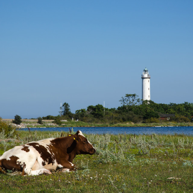 """""""Cow by a coast with a lighthouse"""" stock image"""