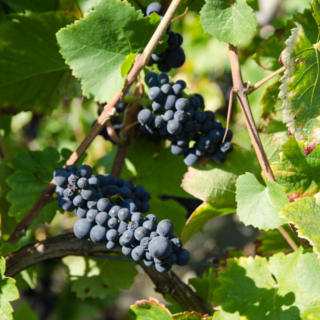"""""""Grapewines ready for harvest"""" stock image"""