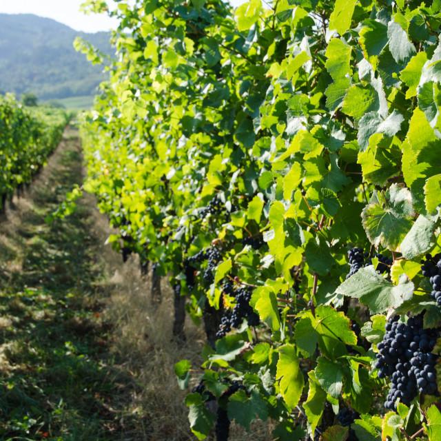 """""""Vineyard in Alsace in France"""" stock image"""