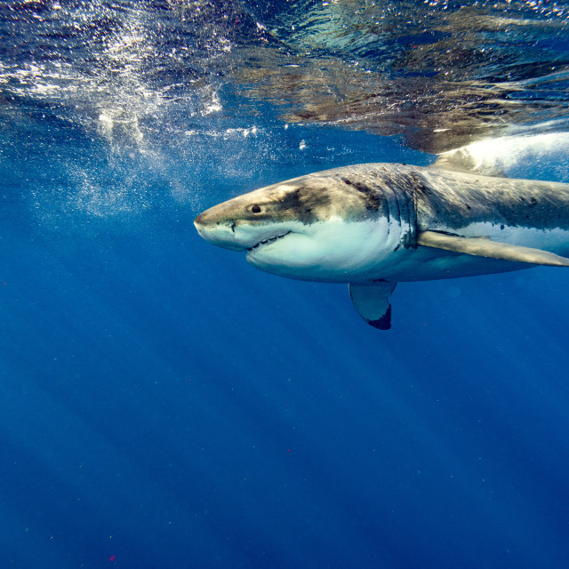 """Great White shark while coming to you on deep blue ocean background"" stock image"