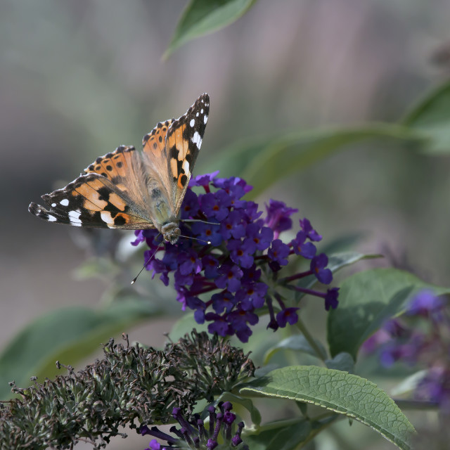 """Painted Lady Butterfly."" stock image"