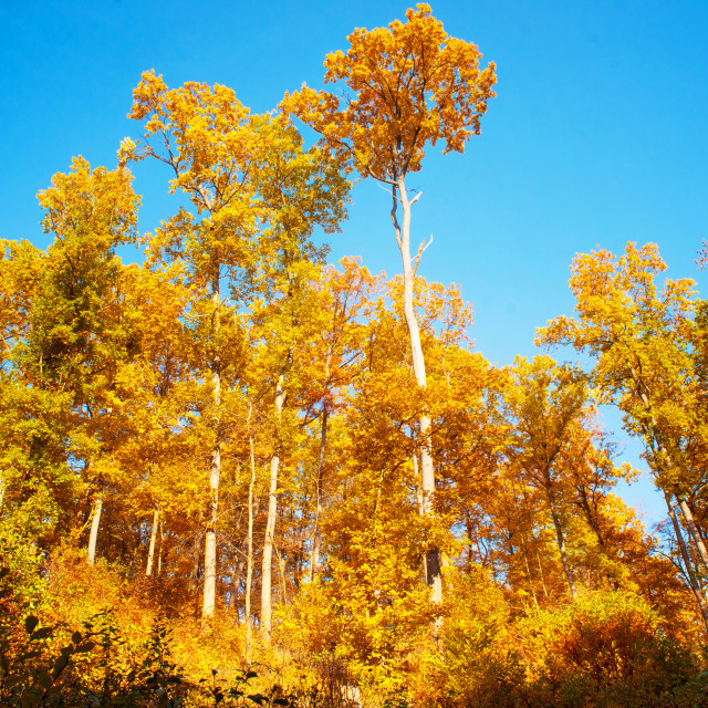 """Glorious Aspen golden trees agaisnt blue sky"" stock image"