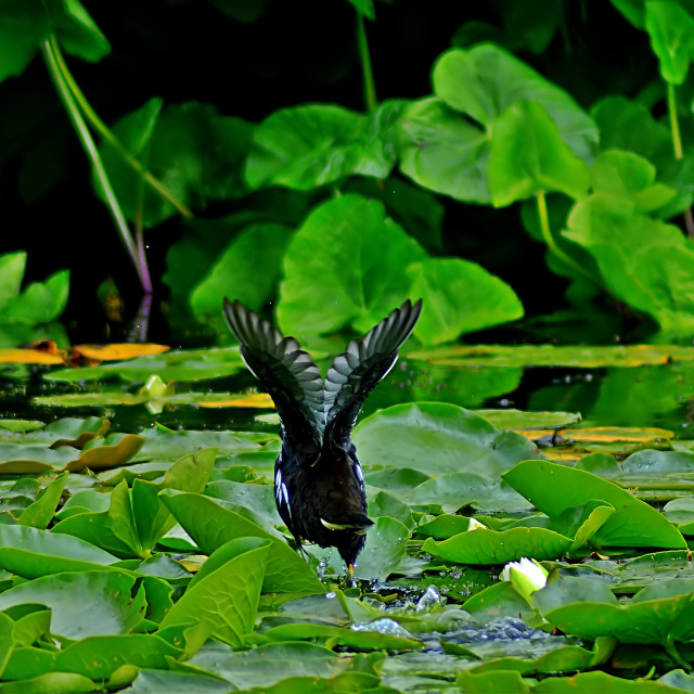 """""""Duck. The lily pad take-off"""" stock image"""