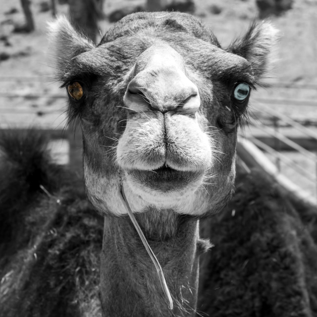 """Dromedary black-white portrait"" stock image"
