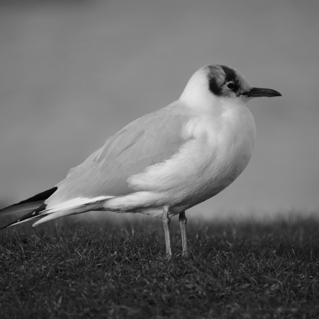 """Little Gull"" stock image"