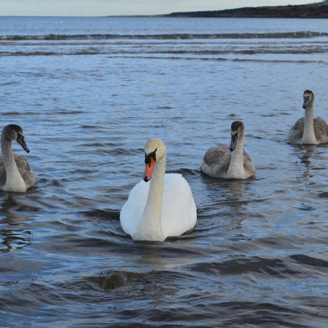"""Swan Family At Sea"" stock image"
