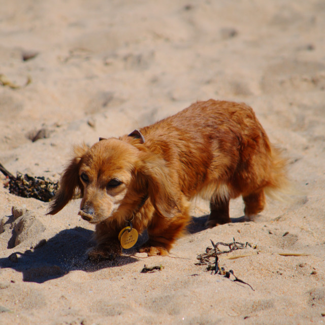 """Beach Puppy Exploring"" stock image"