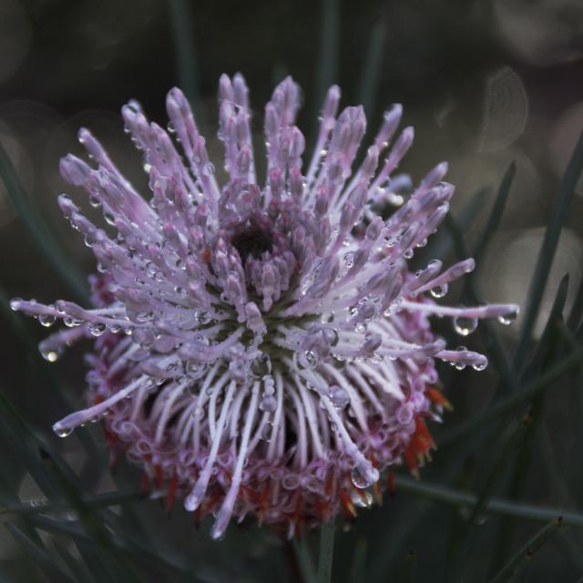 """""""Australian Banksia flower"""" stock image"""