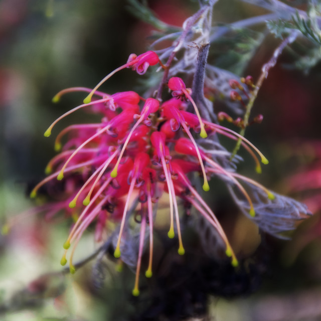 """Grevillea flower"" stock image"