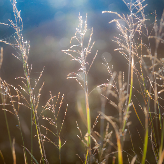 """Back-lit grass"" stock image"