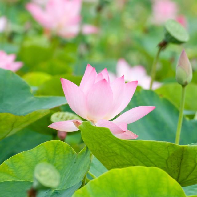 """""""Beautiful pink lotus flower"""" stock image"""