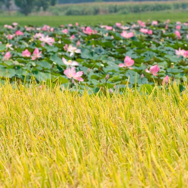 """Rice field next to lotus field"" stock image"