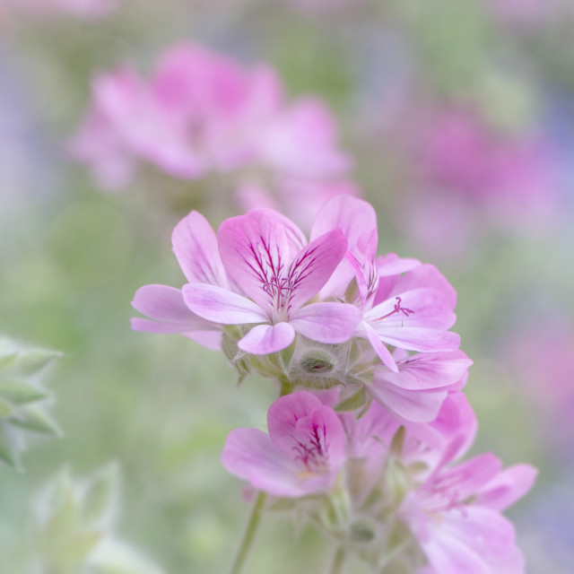 """Pink Geranium flowers"" stock image"