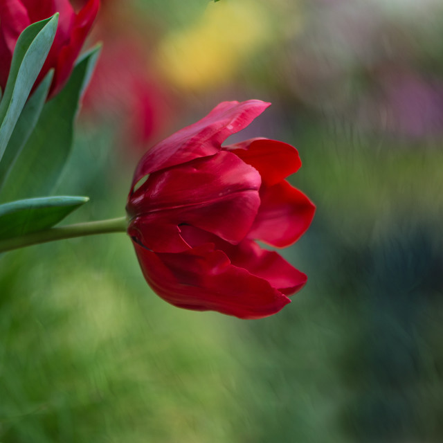 """Red Tulip"" stock image"
