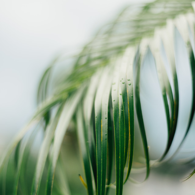 """Leaves of a Palm Tree"" stock image"