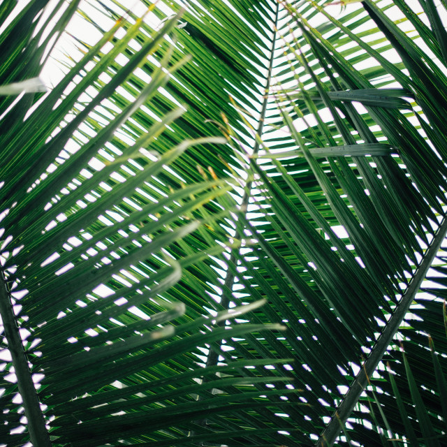 """Palm Tree Leaves"" stock image"