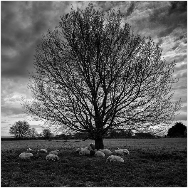 """Avebury sheep and tree"" stock image"