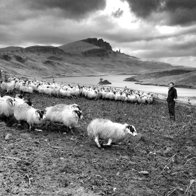 """Skye sheep and Storr"" stock image"