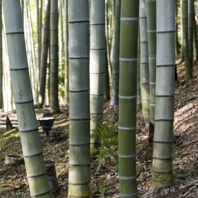 """Bamboo grove, Kodai-ji, Kyoto"" stock image"