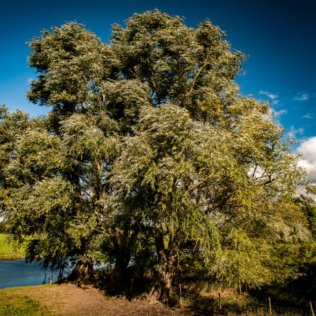 """""""Mature willow trees"""" stock image"""