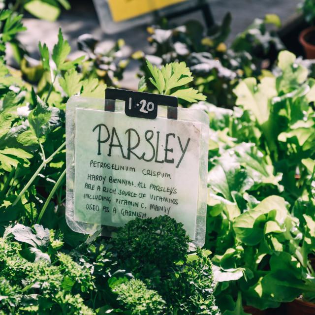 """Parsley plant"" stock image"