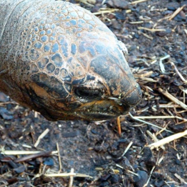 """Aldabra Tortoise"" stock image"