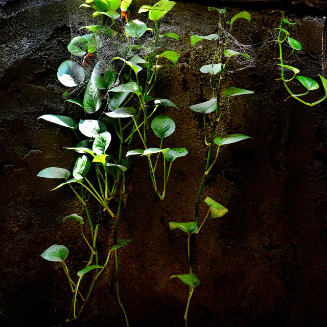 """""""Money plant creeper growing in a dungeon"""" stock image"""