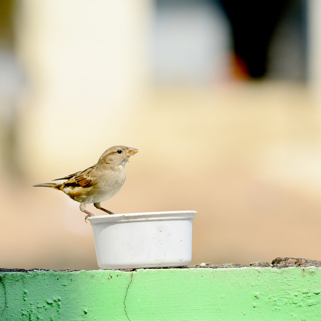 """Thirsty sparrow"" stock image"