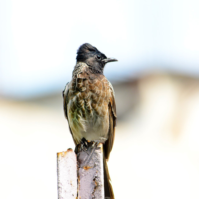 """""""Red vented Bulbul"""" stock image"""