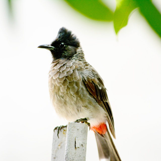 """The red vented bulbul of India"" stock image"