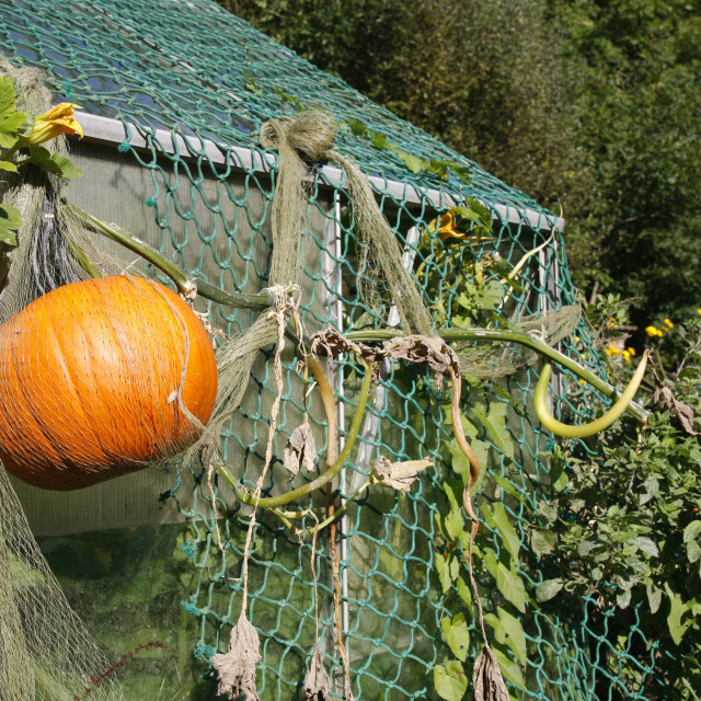 """Pumpkin growing in an allotment"" stock image"