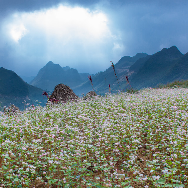 """Buckwheat field"" stock image"