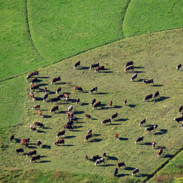 """Herd of cows"" stock image"
