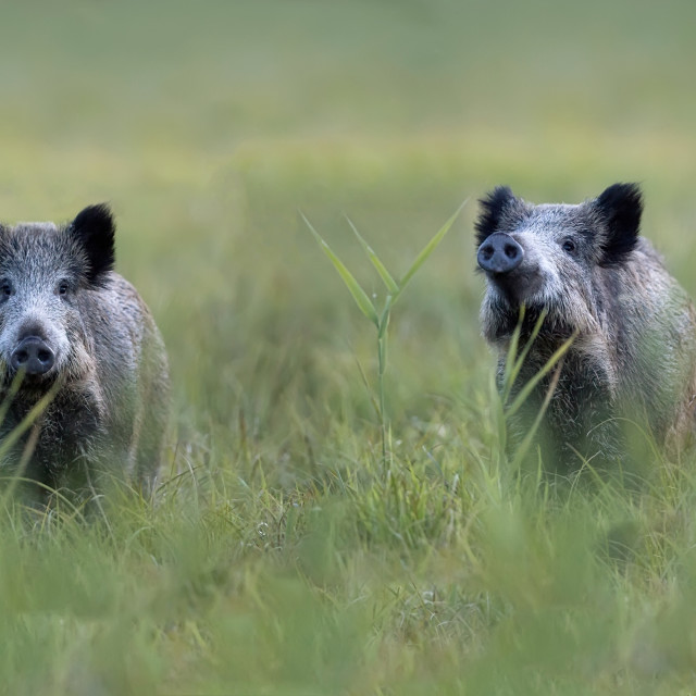 """Wild boars in a clearing"" stock image"