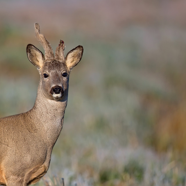 """Buck deer in a frosty morning, a portrait"" stock image"