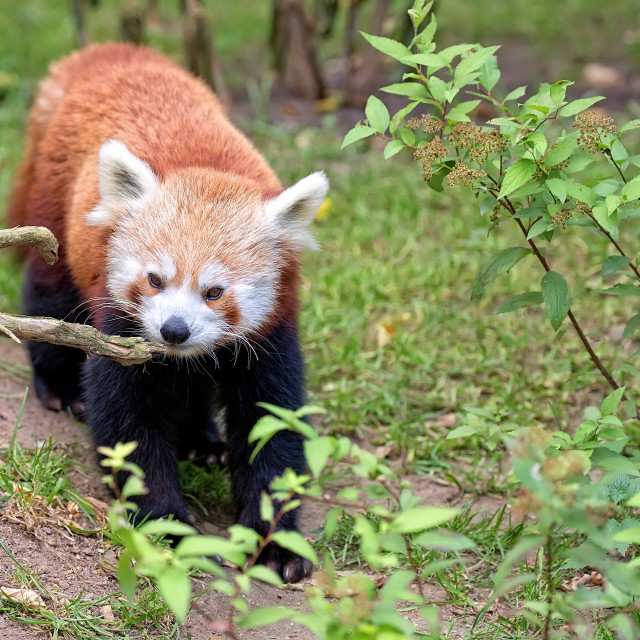 """Red panda bear in the wild"" stock image"