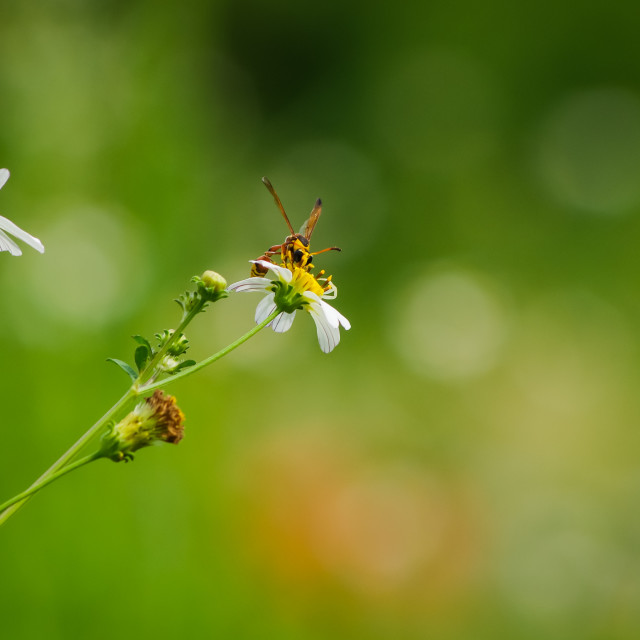 """""""Bee with white wild daisy flowers"""" stock image"""