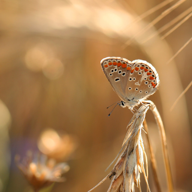 """Common blue summer rest"" stock image"