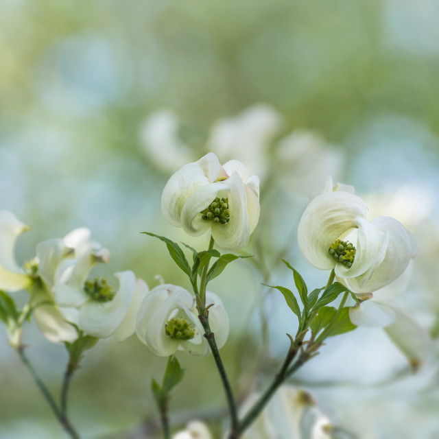 """Dogwood"" stock image"
