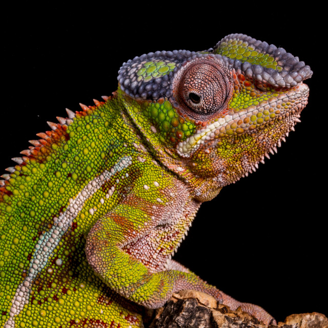 """""""Colours of the chameleon"""" stock image"""