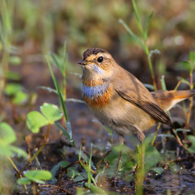 """Warbler Bluethroat"" stock image"