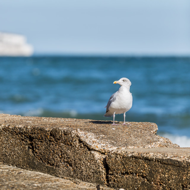 """Seagull posing on a wall on the Isle of Wight"" stock image"