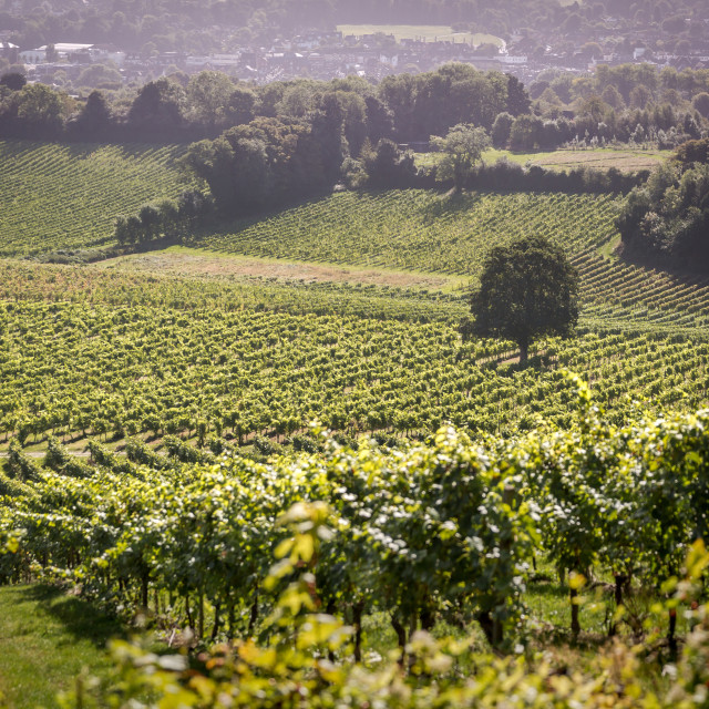 """Denbies Vineyard, Dorking, Surrey"" stock image"
