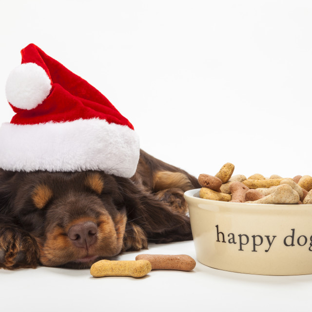 """""""Spaniel Puppy Dog in Christmas Hat by Bowl of Biscuits"""" stock image"""